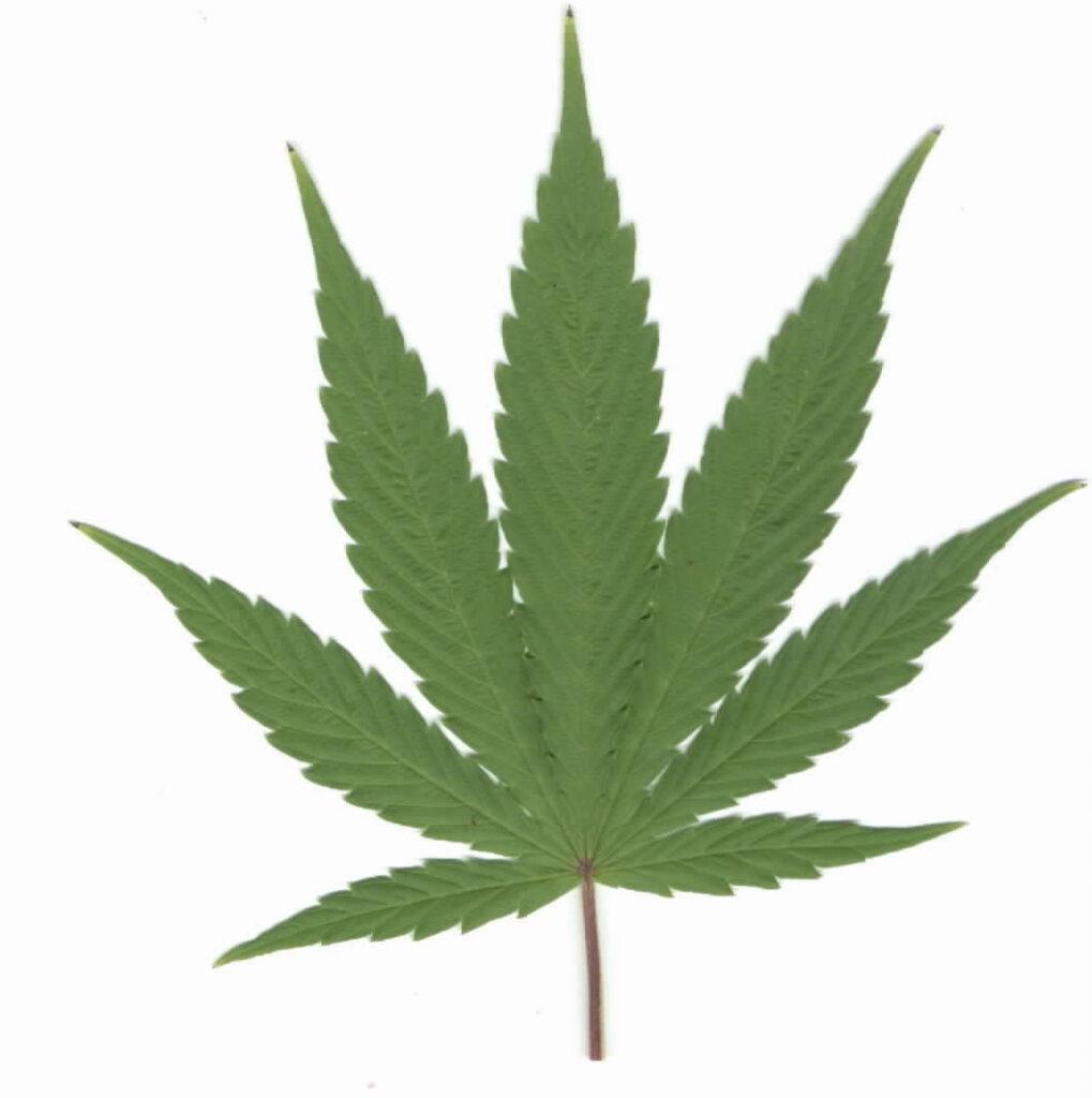 marijuana_leaf_pic